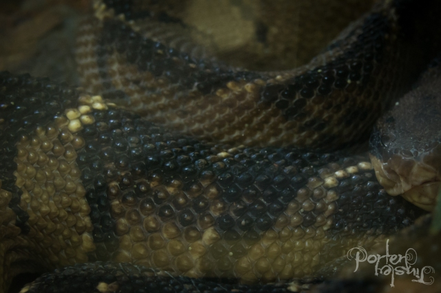 """The only shot I could get of the legendary """"Bushmaster"""" snake - though it's rare to encounter, it's venom is the hardest to treat and the mortality rate is well above average for a pit viper. Fortunately they spend a lot of time underground and are not pissy like Fer de lances. Words cannot describe how cool it was to be just millimeters on the other side of the glass from this thing."""