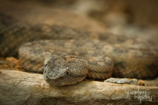 Not a Fer de lance. This snake is the only rattlesnake found in Costa Rica - it's endemic to the northern Pacific slopes.